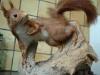 Écureuil naturalisé empaillé